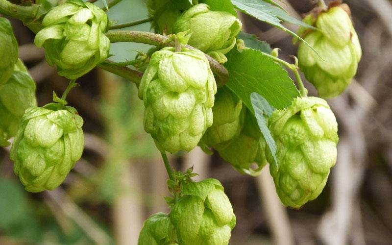 Bier brouwen zonder hop | Brouwbeesten